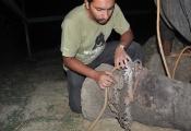 Wildlife SOS team removing shackles