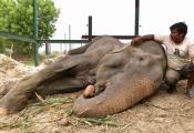 Wildlife SOS team nursing Raju's wounds